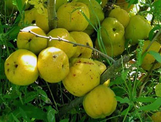 Айва - ароматный фрукт с желтой кожурой, круглой или грушевидной формы, в с