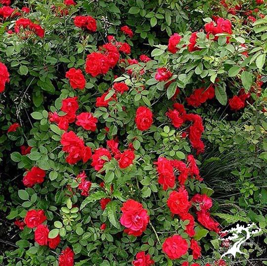 Роза плетистая 'Santana' - Садовый центр